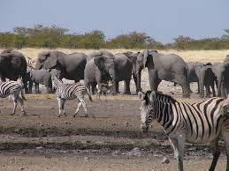 elephants and zebras